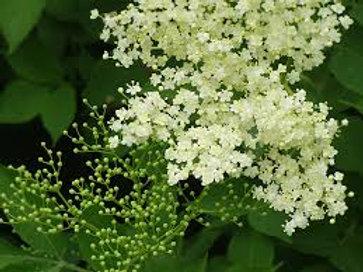 fleur de sureau noir BIO DES VOSGES
