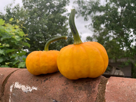 Home grown Jack o laterns