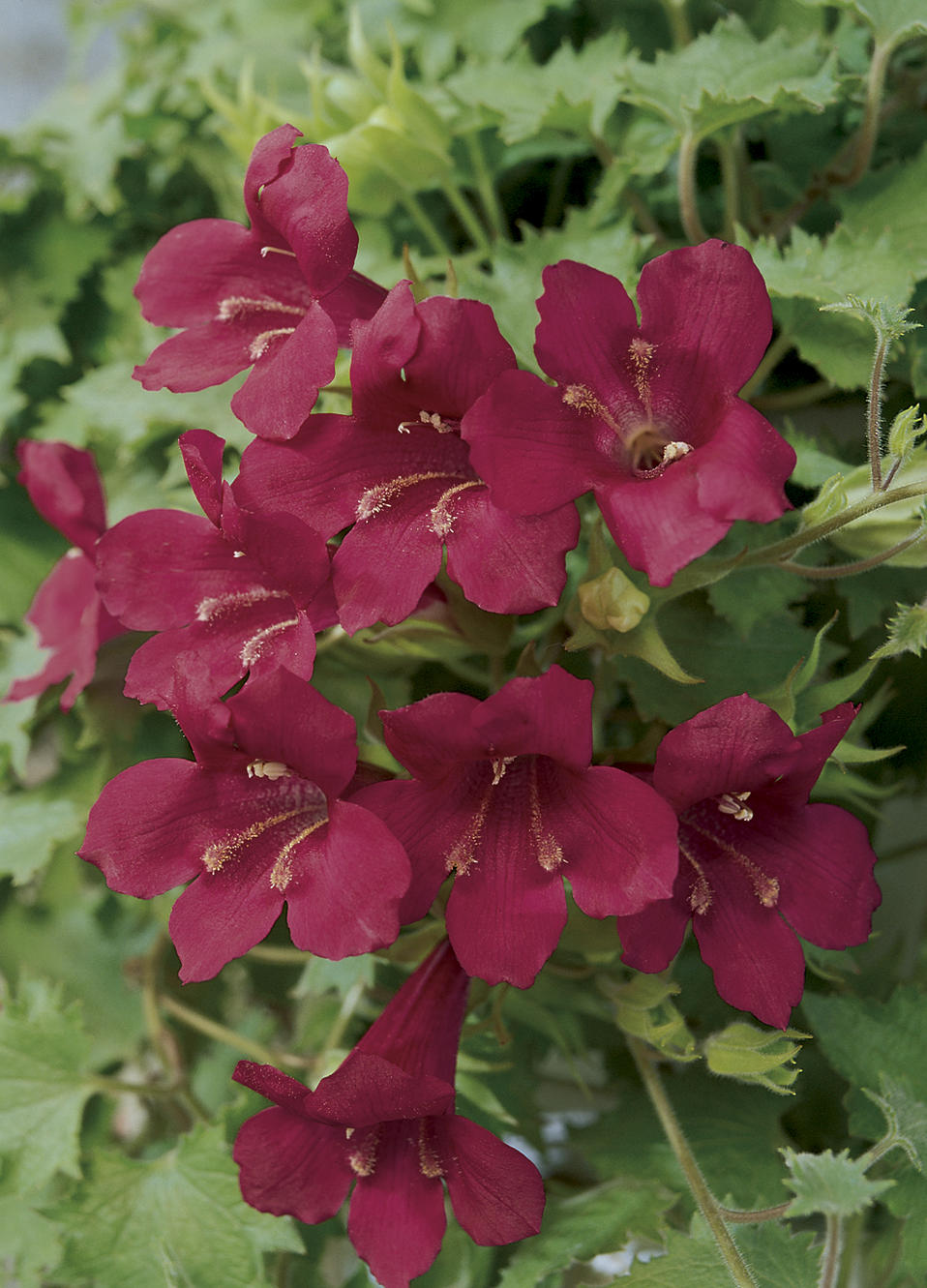 Lophospermum Maison Haas