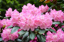 Rhododendron Maison Haas
