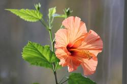 Hibiscus Maison Haas