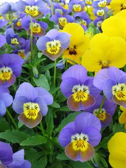 Violette cornue Maison Haas