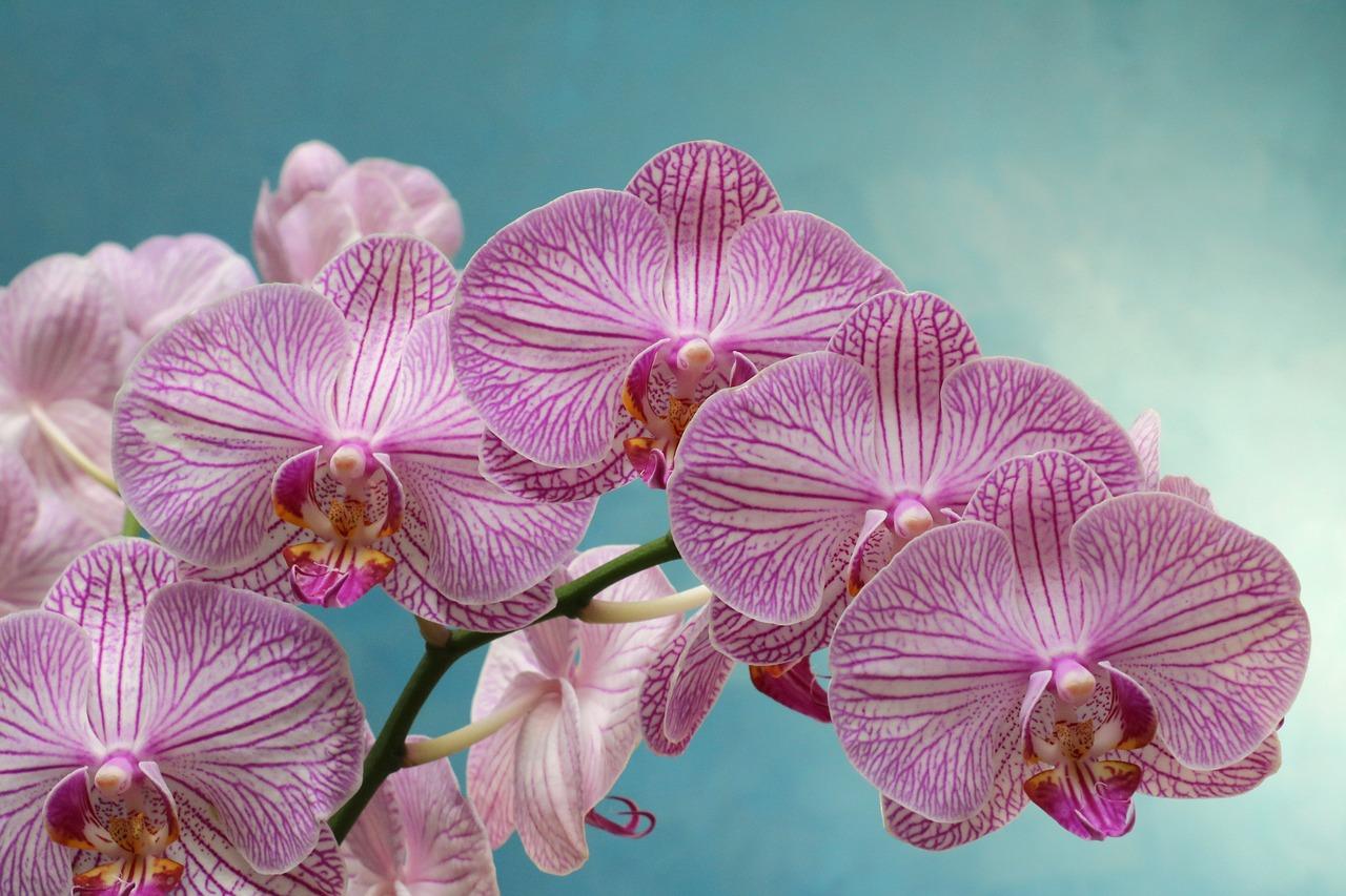 Orchidée Maison Haas