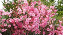 Laurier-rose Maison Haas