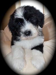 Belle Pup