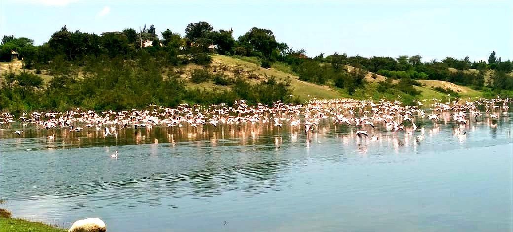 Lake Simbi Flamingos