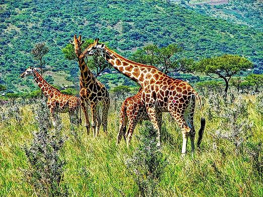 Ruma-National-Park_Rothschilds-giraffe-u