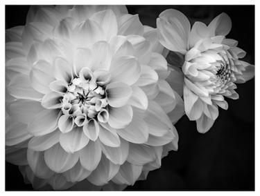 Chrysanthemums at Powerscourt Gardens, Enniskerry, Ireland