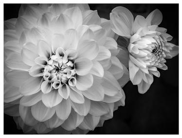 Chrysanthemums at Powerscourt Gardens, Enniskerry, Ireland