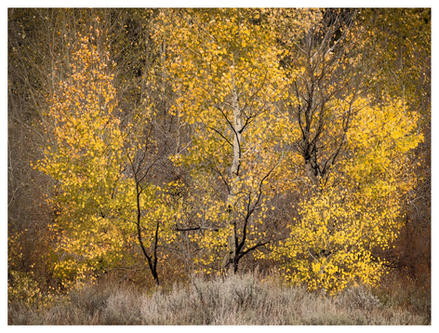 Stand of young aspen trees in fall color, Ketchum, Idaho