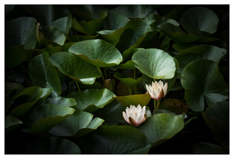 Water lilies, Powerscourt Gardens, Enniskerry, County Wicklow, Ireland
