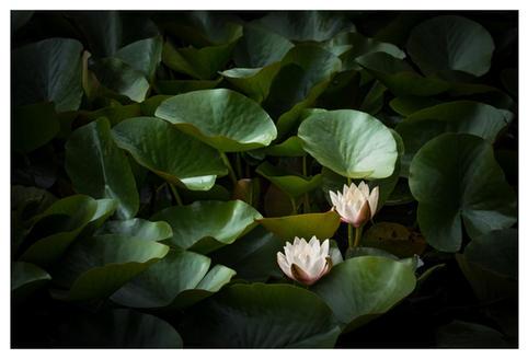 Water lilies, Powerscourt Gardens, Enniskerry, County Wicklow, Ireland