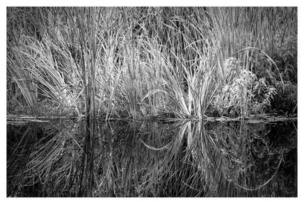 Marsh grass in brackish pond, Plantation Resort, Crystal River, Florida
