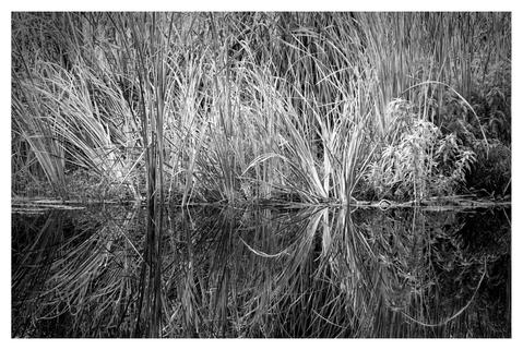 Marsh grass in brackish pond, Plantation Resort, Crystal River, Florida