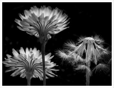 Dandelions in transition, Homosassa, Florida