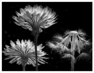 Dandelions in transition, Homosassa, Florida