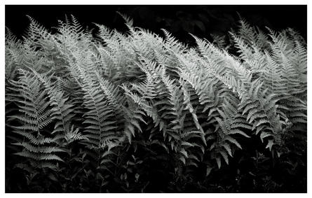 Ferns, Central Park, NYC
