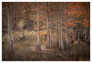 Cypress grove in fall, Smithville, Georgia