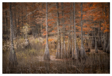 Cypress grove in fall, Smithville, Georgia