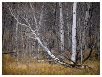 Aspen stand in late September, Ketchum, Idaho
