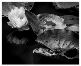 Water lily study, Gibbs Gardens, Ballground, Georgia