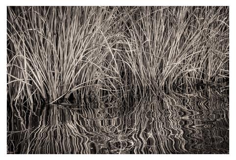 Marsh grasses, black and white, Price Creek, Homosassa, Florida