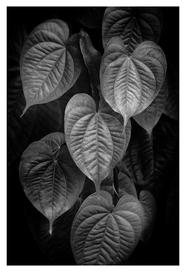 Potato vine leaf study, Homosassa, Florida