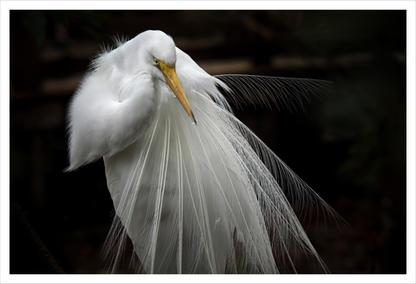 Great White Heron, Homosassa, Florida