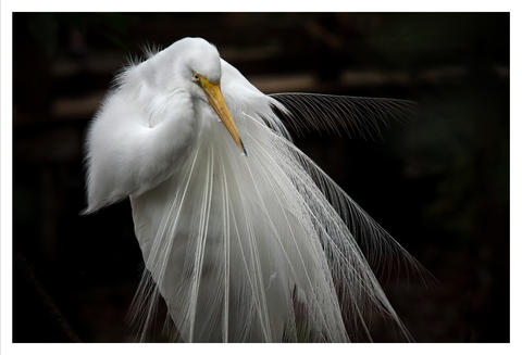 Great White Heron, Homosassa, Florida
