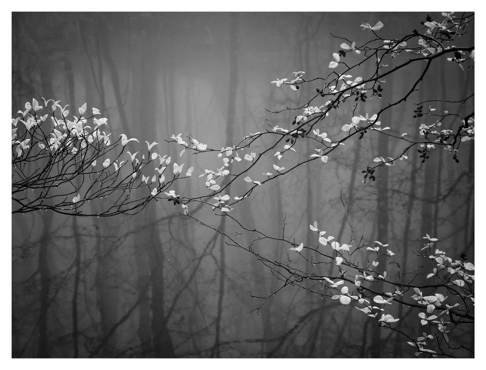 Spring buds, fog, woods, dogwood