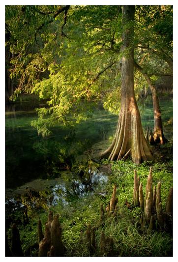 Manatee Springs State Park, Cypress