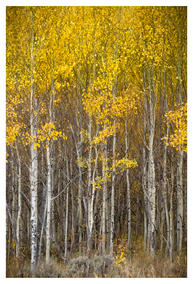 Stand of young aspen, September, Jackson Hole, Wyoming