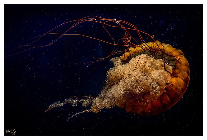 Jellyfish, Chattanooga Aquarium