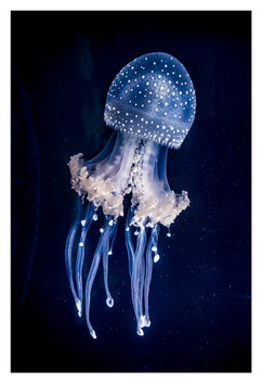 Blue jellyfish, Chattanooga Aquarium, Tennessee