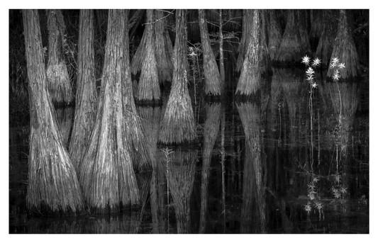 Cypress swamp, black and white, Smithville, Georgia