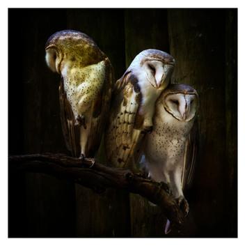 Owl Trio, Homosassa Wildlife Park