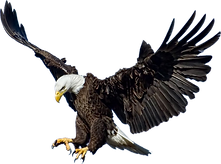 Eagle-Perched.png