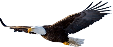 Bald Eagle Soaring.png