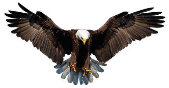 Bald Eagle with spread wings