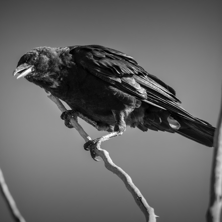 'Crow's Eve' & 'In Pythonissam Est Hora': Two Poems by Ivy Robb