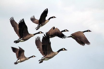'Geese': A Poem by Judy DeCroce