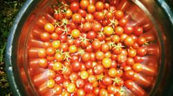 Tomatillo criollo