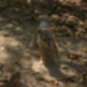 Reserva_Biológica_Cerro_Seco_Lycalopex_s