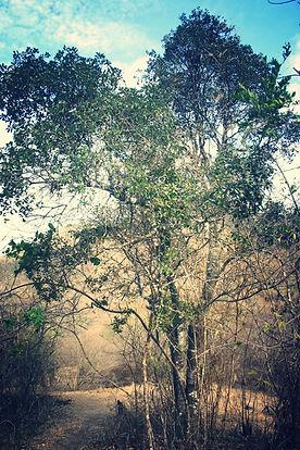 Reserva Biologica Cerro Seco, Barbasco, Bonellia sprucei, Bosque Seco Tropical