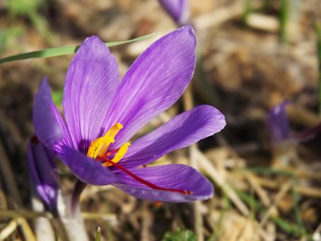 Safran BIO de France. Quelle fleur ce Crocus Sativus !