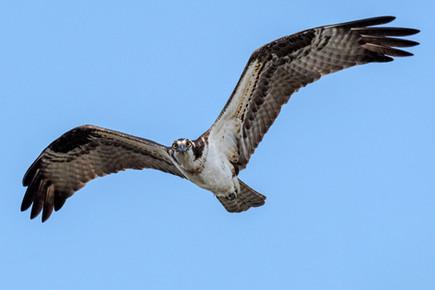 "Osprey In Flight | 12"" x 18"" | Photography"