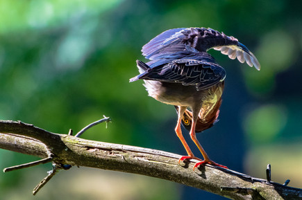 "Green Heron Peeking | 12"" x 18"" | Photography"