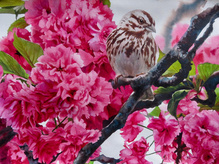 "Song Sparrow in the Cherry Tree | 22"" x 30"" 