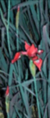 Scarlet-Iris.jpg