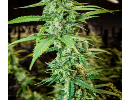 Effect of light on cannabinoid biosynthesis